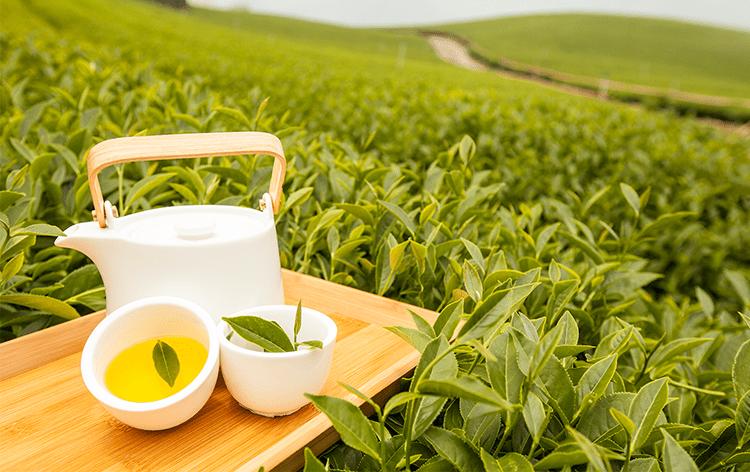 阿里山冬茶即將開採