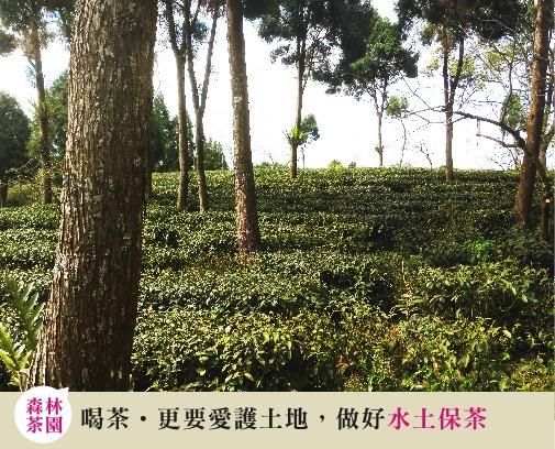 阿里山茶區森林茶園