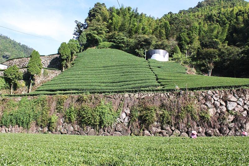 阿里山茶園