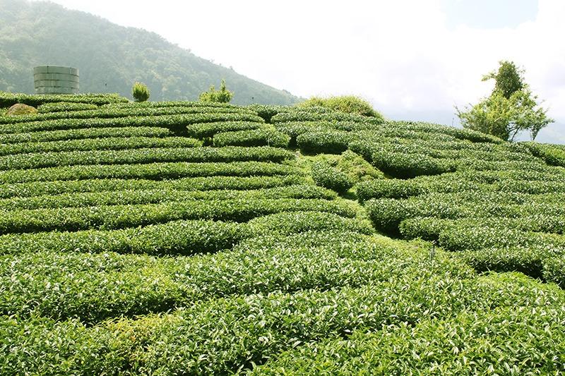 阿里山茶園 - 山茶堂