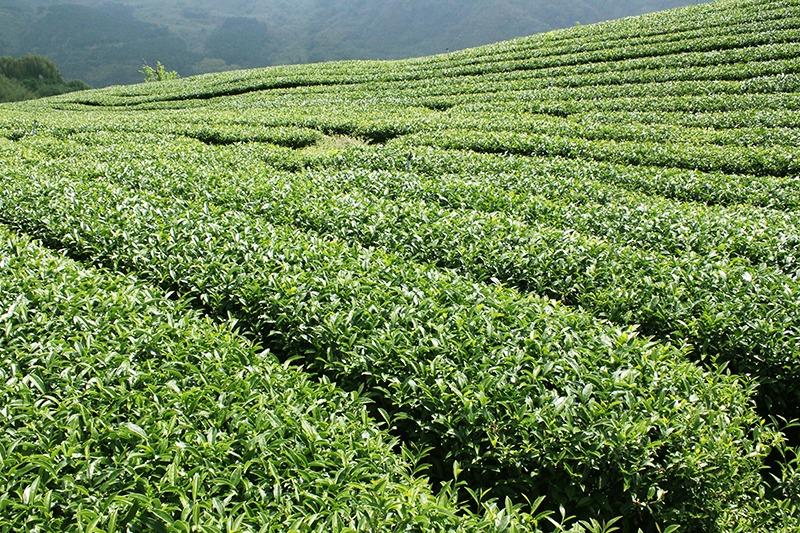 台灣好茶-金萱茶茶樹茶園