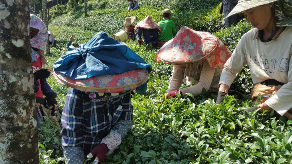 阿里山採茶工