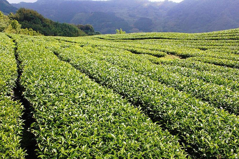 阿里山春茶特色茶園