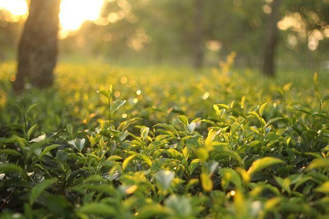 今年的春雨下得很很少,少了春天雨水的灌溉與滋養 大大的影響了春茶茶葉的生長速度