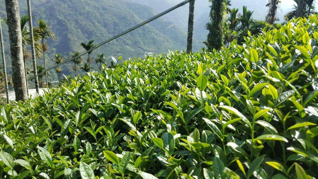 阿里山高山茶園